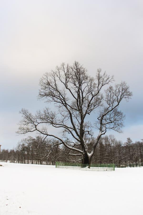 老橡树在冬天公园 库存图片