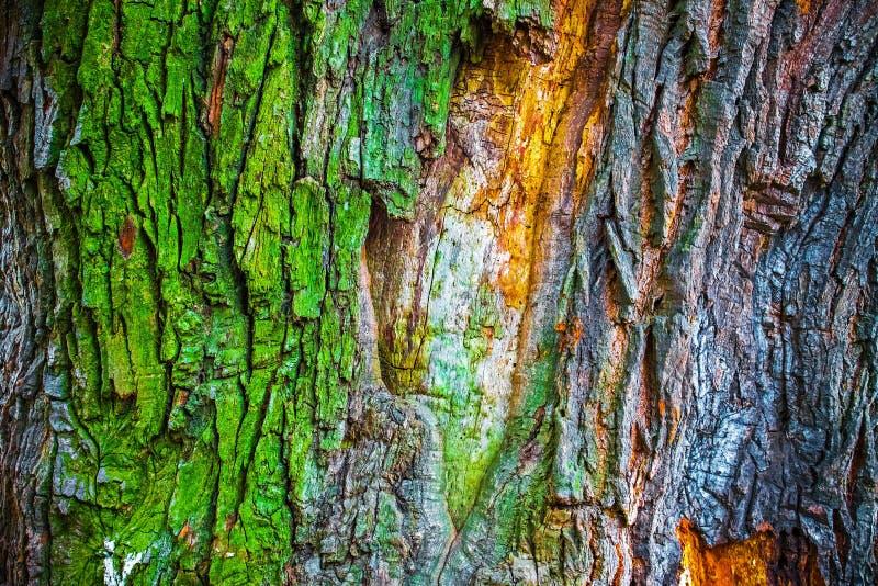 老橡树,抽象自然背景五颜六色的吠声  免版税库存图片