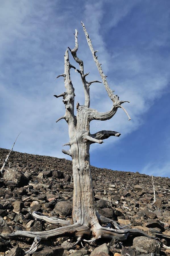 老死的树 免版税库存照片