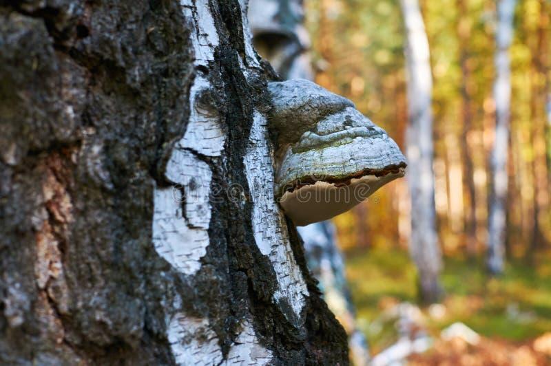 老死的桦树在有蘑菇生长的森林里 免版税图库摄影