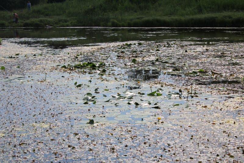 老池塘长满与荷花 库存图片