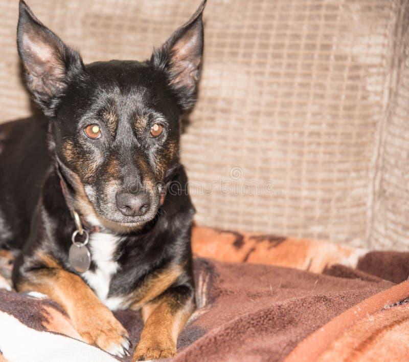老狗-黑更旧的狗坐长沙发 免版税库存图片