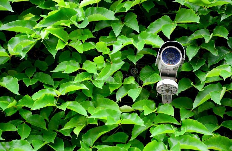 老白色cctv照相机或监视在墙壁上有绿色叶子上升的植物背景监测的在房子区域或公众 免版税库存照片