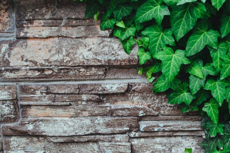 老石墙和绿色常春藤叶子 您的文本或设计的横幅和拷贝空间 免版税库存照片