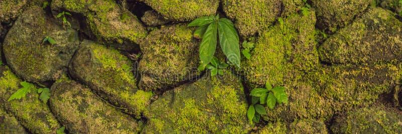 老石墙纹理包括在堡垒鹿特丹,望加锡-印度尼西亚的绿色青苔横幅,长的格式 免版税库存图片