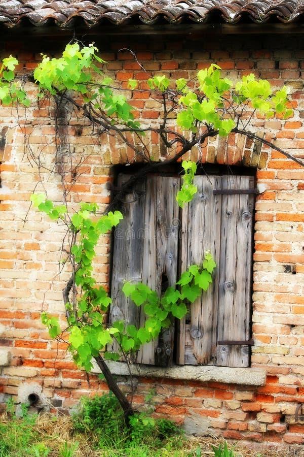 老砖房子和藤分支葡萄园的窗口 免版税库存图片