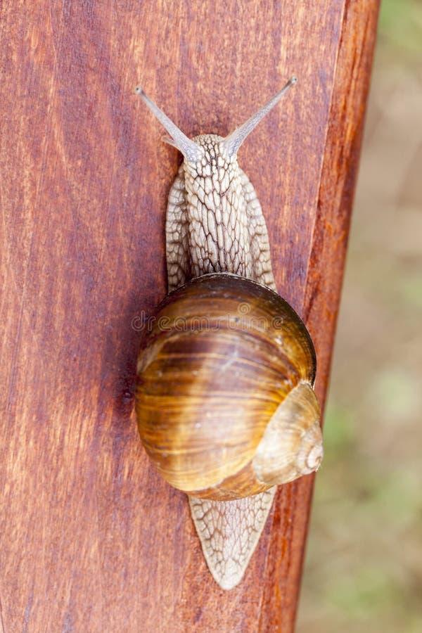 老葡萄蜗牛 库存图片