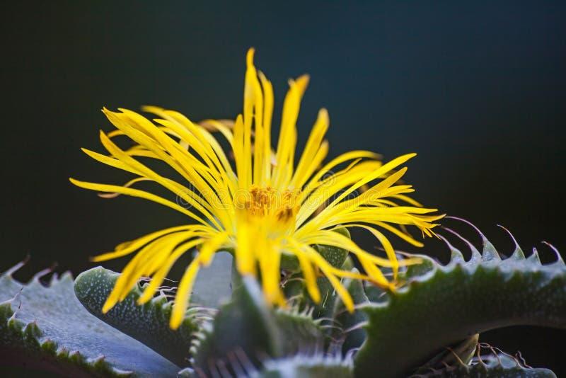 老虎下颌Faucaria tigrina 免版税图库摄影