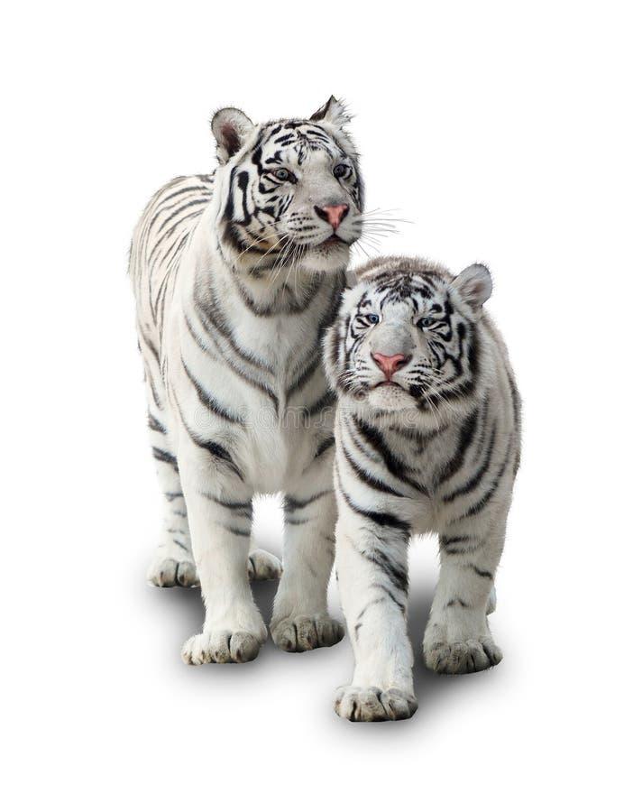 老虎二白色 免版税库存照片