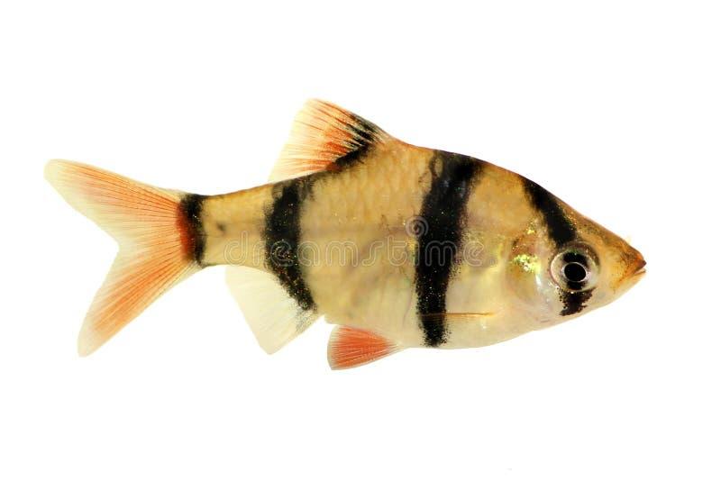 老虎倒钩或苏门答腊倒钩Puntius tetrazona热带水族馆鱼Groupd被隔绝的 库存图片