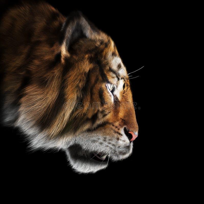 老虎偷偷靠近它在黑背景祈祷 皇族释放例证