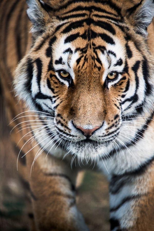 老虎偷偷靠近 库存图片