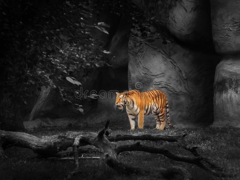 老虎动物园 免版税库存照片