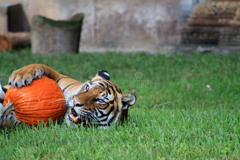 老虎和南瓜 库存图片