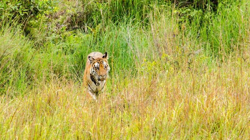 老虎和草 免版税库存图片