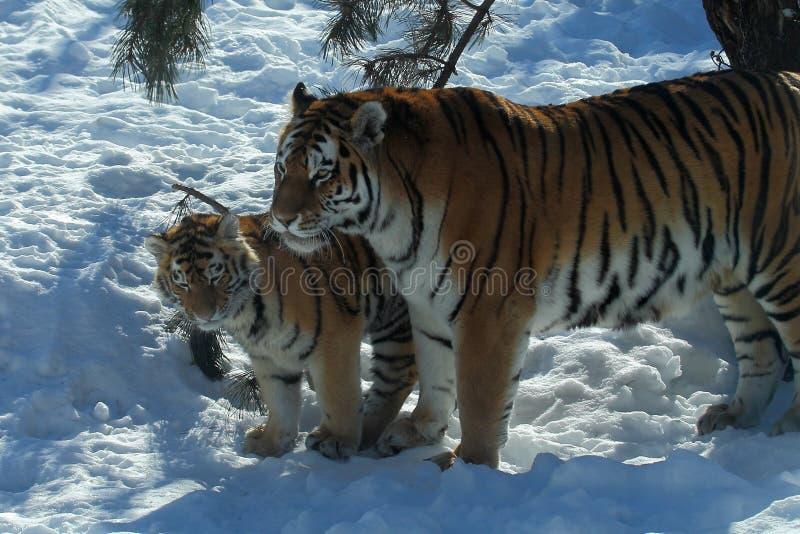 老虎和崽 库存照片