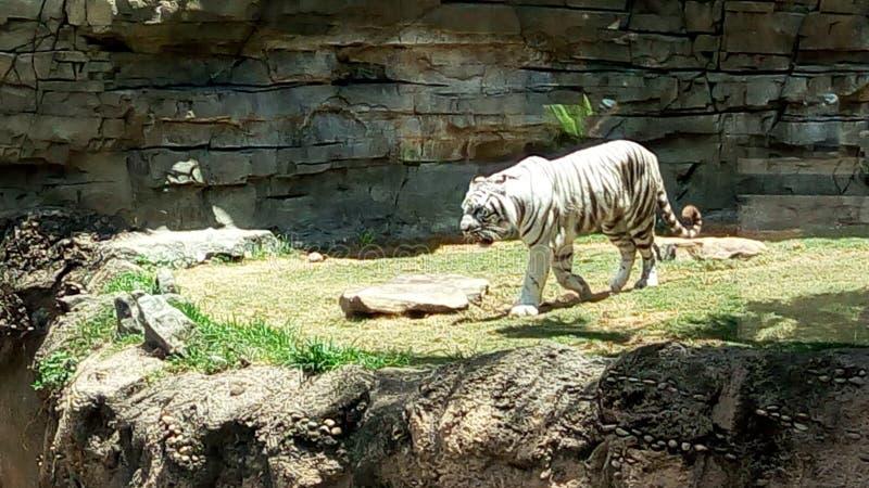 老虎在公园 库存图片