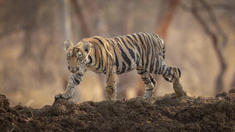 老虎在池塘 库存图片