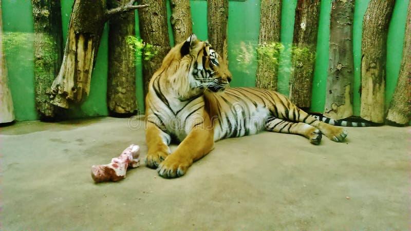 老虎在说谎在地面上的动物园里用食物 免版税库存图片