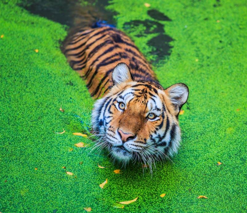 老虎在水中 免版税库存图片