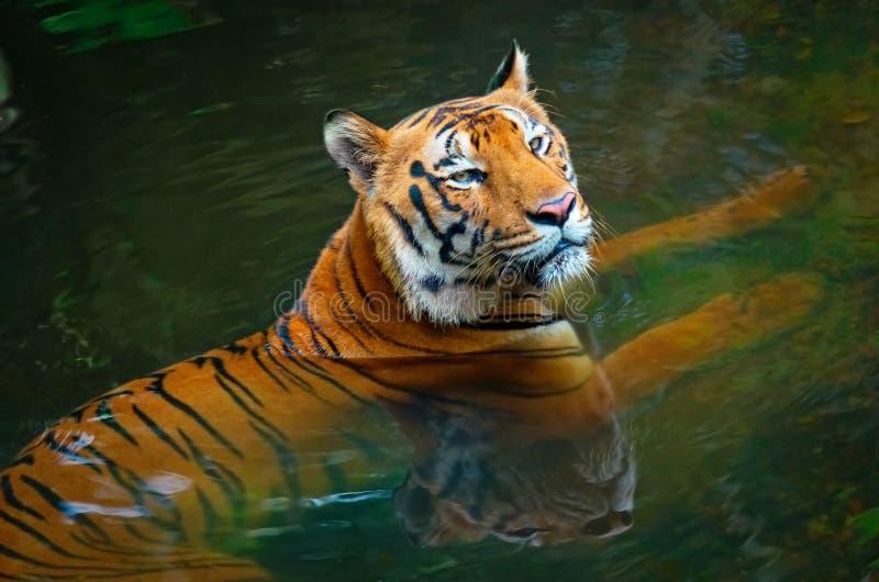 老虎在水中 库存图片