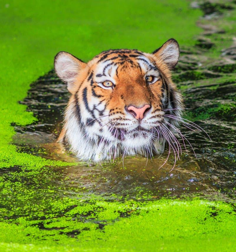 老虎在水中 图库摄影