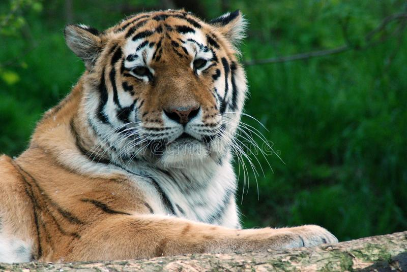 老虎本质上 库存图片