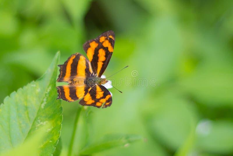 老虎样式翼蝴蝶在庭院里 库存图片