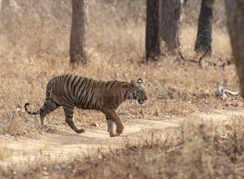 老虎横穿在Tadoba老虎储备马哈拉施特拉,印度的徒步旅行队足迹 库存图片