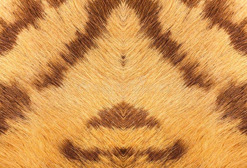 老虎毛皮特写镜头与美丽的anim条纹真正的纹理的  免版税库存图片