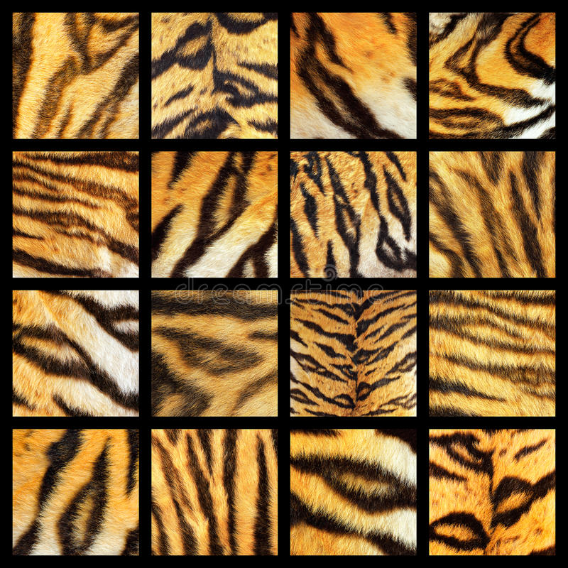 老虎毛皮细节的汇集 免版税库存照片