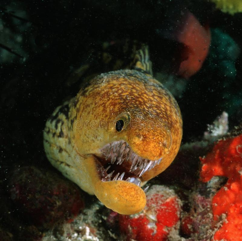 老虎海鳗 免版税库存图片