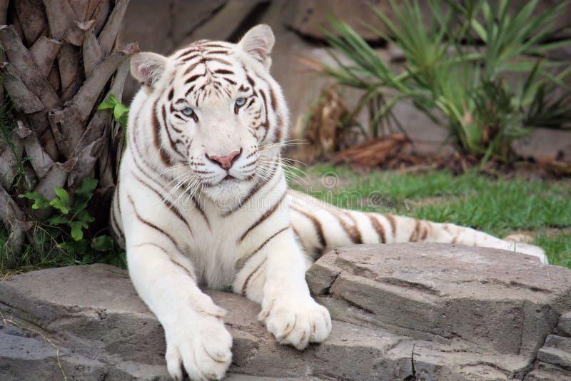 老虎白色 库存图片
