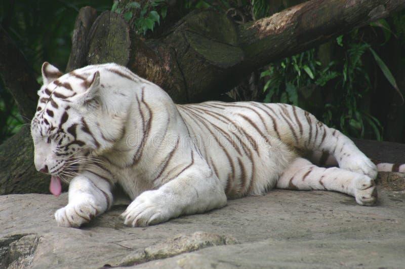 老虎白色 免版税库存照片