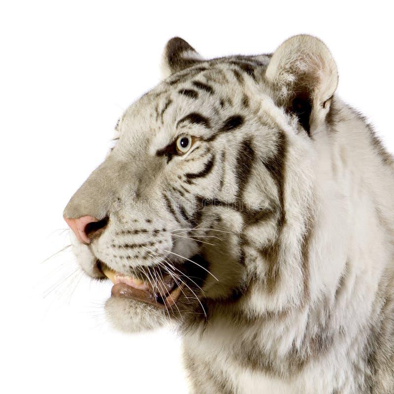 老虎白色 免版税图库摄影