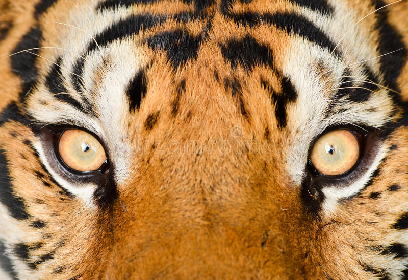 老虎眼睛 免版税库存图片