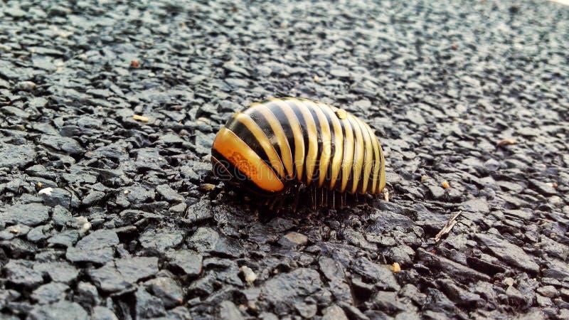 老虎蚂蚁 免版税库存图片