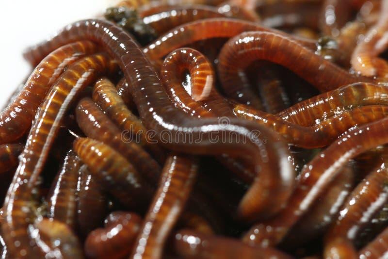 老虎蠕虫 免版税库存图片