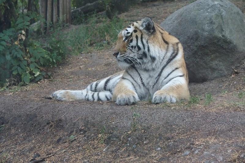 老虎谎言和休息由石头 库存图片