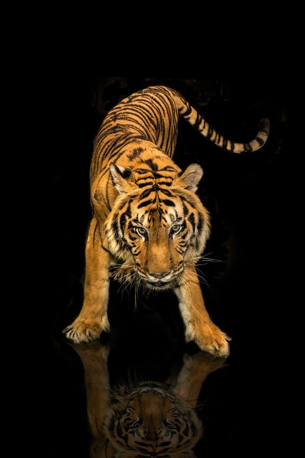 老虎走的黑背景 图库摄影