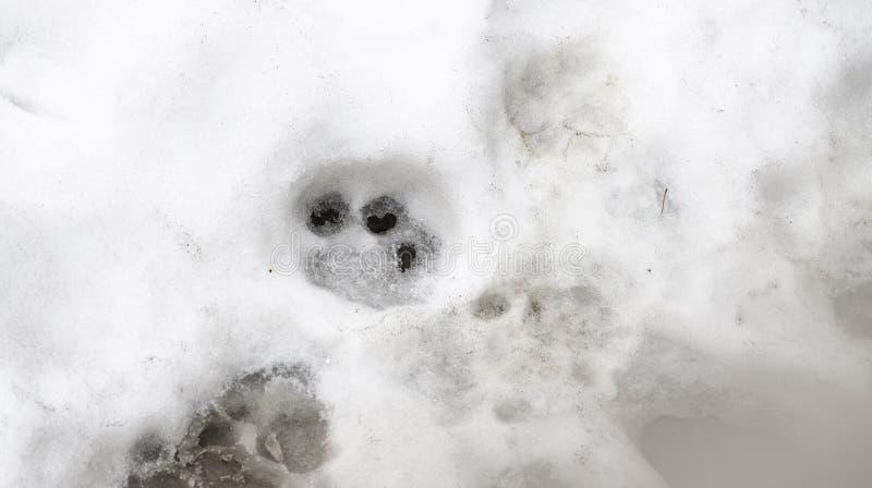 老虎踪影在白雪的在冬天 库存照片