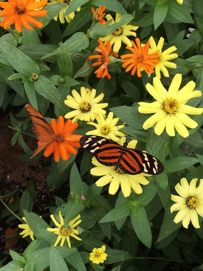 老虎镶边长的翼蝴蝶nectaring的花在加尔德角 库存照片