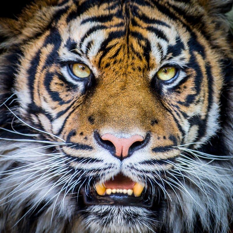 老虎面孔 库存照片