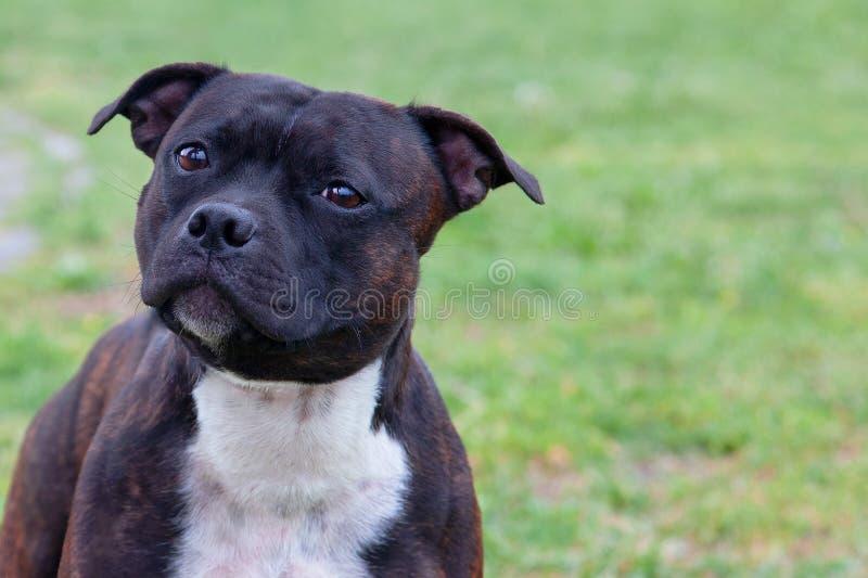 老虎颜色哀伤的狗接近的画象  看对照相机的逗人喜爱的面孔以谦卑 采取流浪狗的概念 免版税库存图片