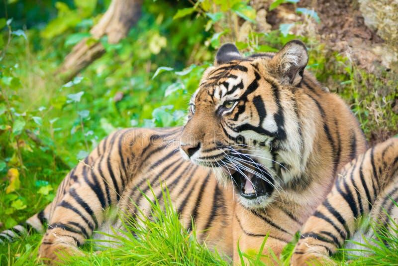 老虎(豹属底格里斯河)是最大的猫种类,多数recogni 库存图片