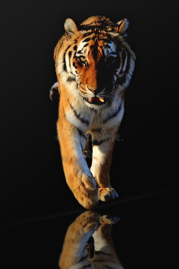 老虎 免版税库存照片