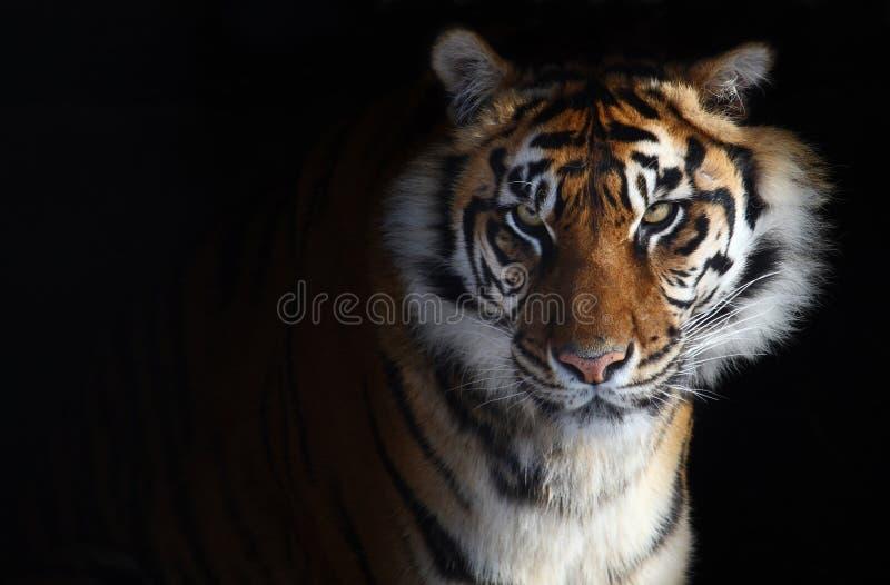 Download 老虎 库存图片. 图片 包括有 纵向, 凝视, 老虎, 眼睛, 重婚, 野生生物, 立场, 本质, 敌意, 配置文件 - 4622825
