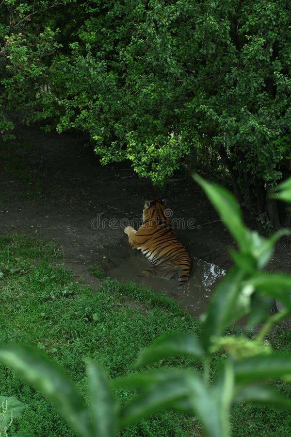 老虎 图库摄影