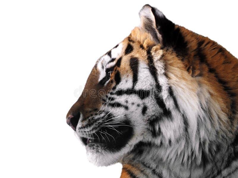 老虎` s面孔关闭被隔绝在白色外形 免版税库存照片