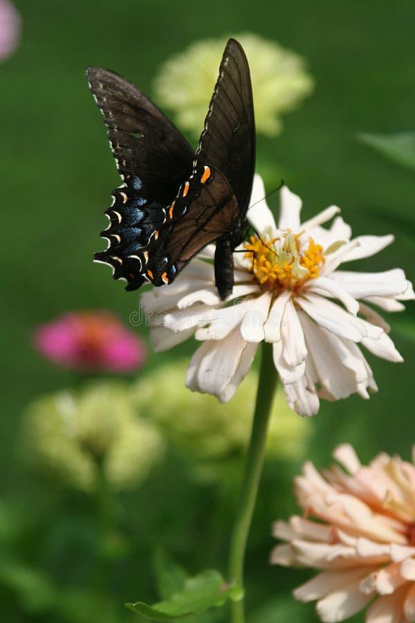 老虎Swallowtail蝴蝶在高百日菊属绽放哺养 库存照片